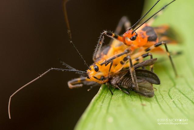 Assassin bugs (Reduviidae) - DSC_9804