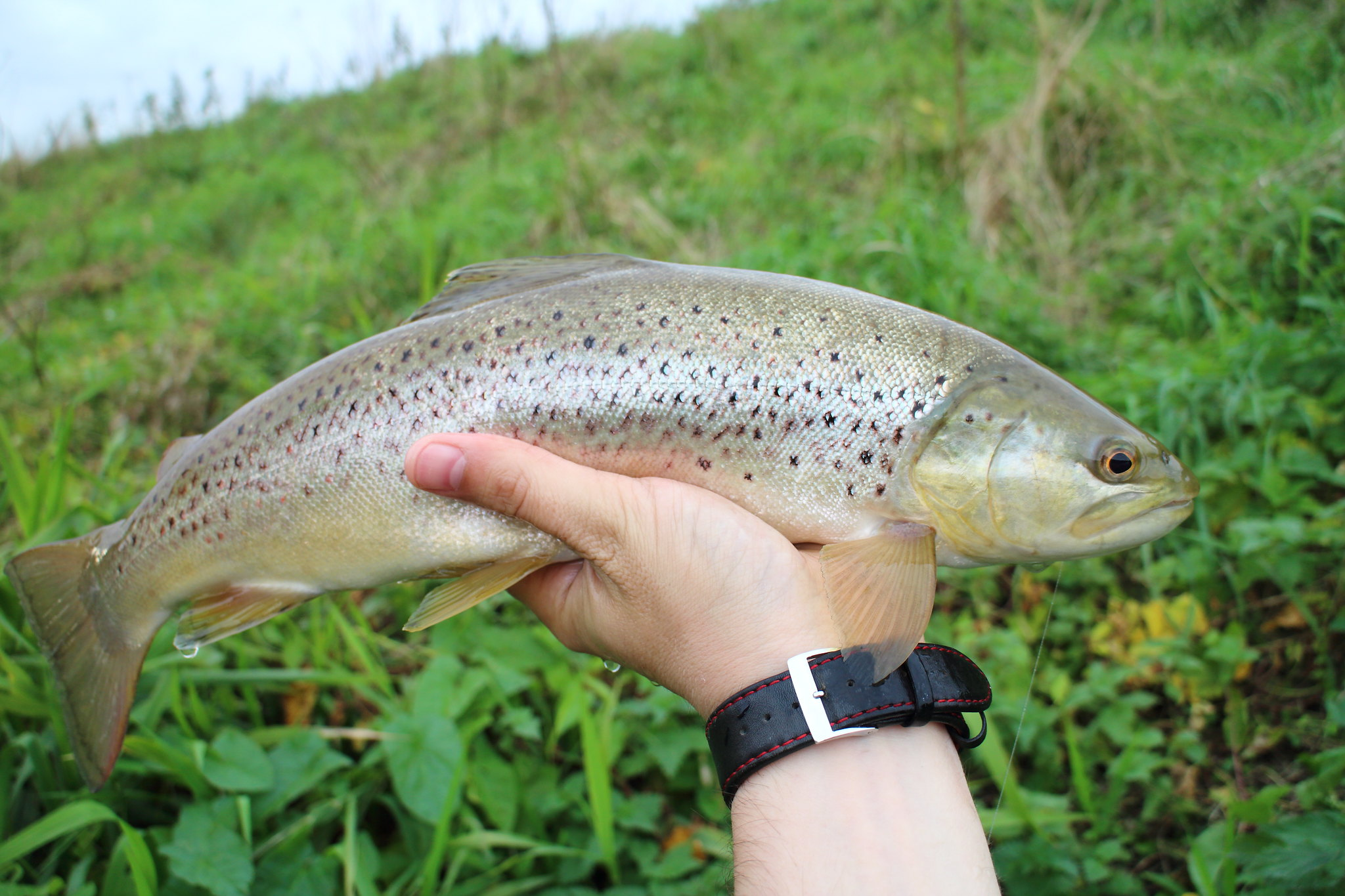 "17"" Coarse Fishery Brown"