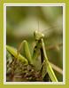 Hello mantis