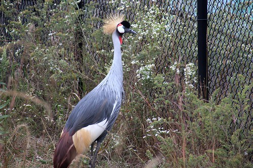 IMG_6417_Grey_Crowned_Crane