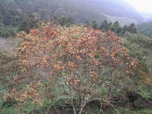 溪頭的楓葉61