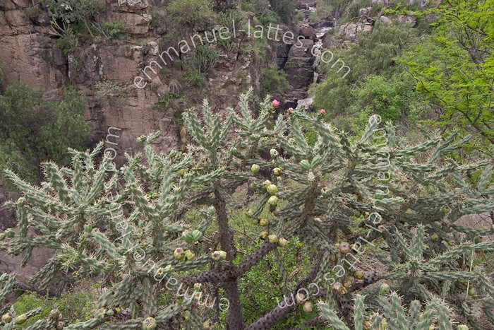 Opuntia Imbricata En Fleurs Et En Fruits San Miguel De Allende