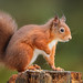 Red Squirrel by forbesimages