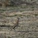 Greater Roadrunner by Susan Colosimo