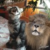 Kitty Maine Coon and the Lion