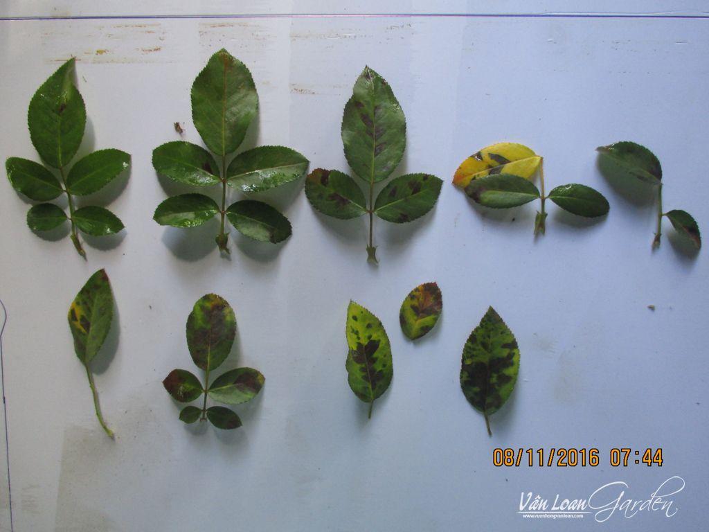 Các dấu hiệu nhận biết bệnh sương mai (Downy Mildew) trên cây hoa hồng