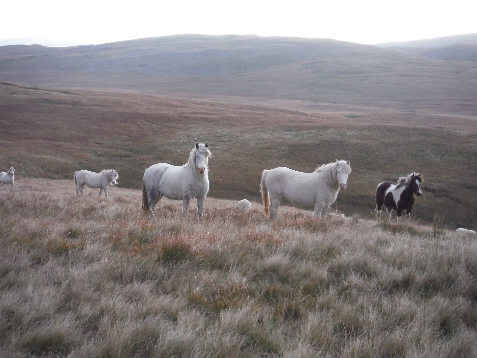 Wild Hill Ponies in Shake Hole Area SWC Walk 279 The Black Mountain - Y Mynydd Du (Glyntawe Circular) [Alternative Ending via Shake Holes Route]