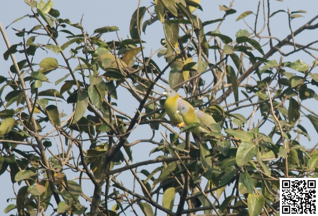 Yellow-footed Green Pigeon [Vinago Patigualdo]