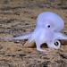 PMNM - Casper - New Octopod Species by National Marine Sanctuaries