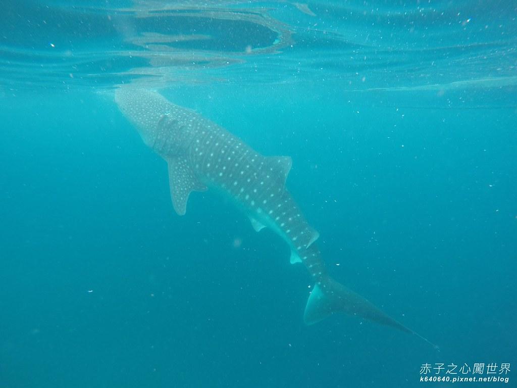 宿霧鯨鯊游泳-Oslob Whale Shark-068