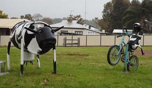 Brunswick cows