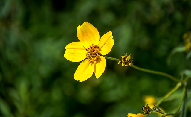 Wildflower of the Summer in Mexico