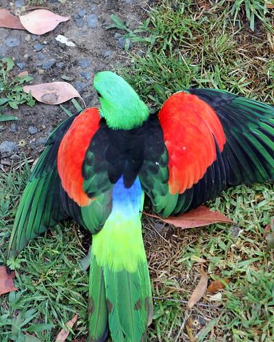 IMG 5707  Injured Parrot