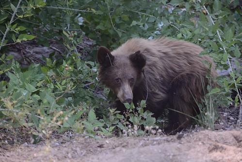 Bear #C15 Eating Raspberries