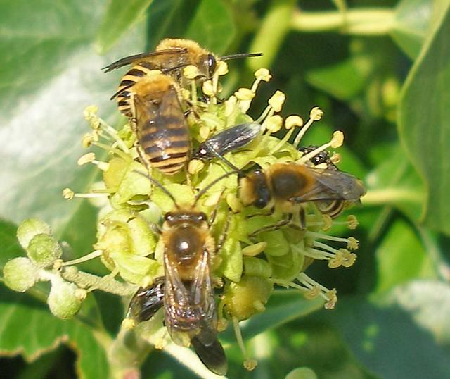 Ivy Bee 3