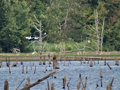 summer virginia egret
