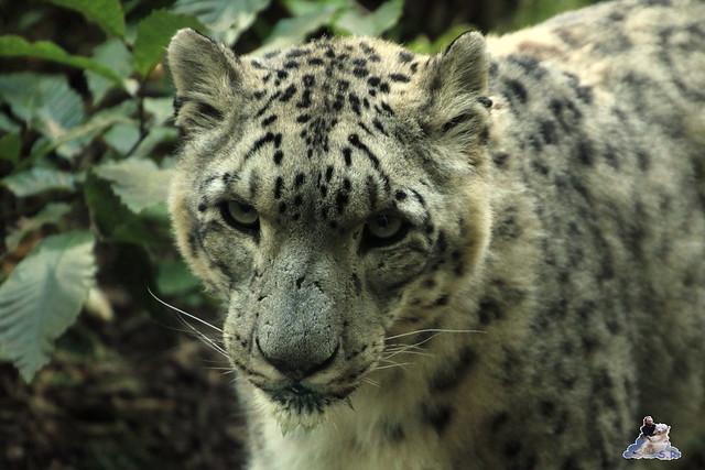 Eisbär Fiete im Zoo Rostock 06.09.2015  0288