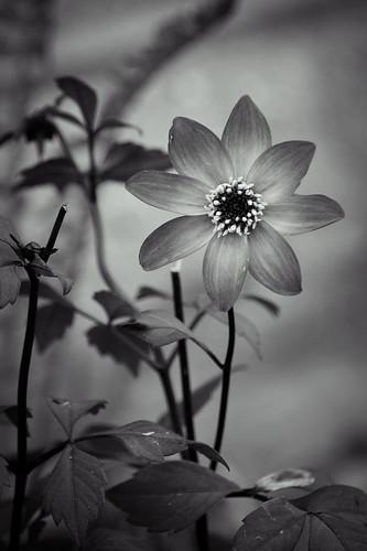 Flower, Monochrome, B&W, Azalea, Garden