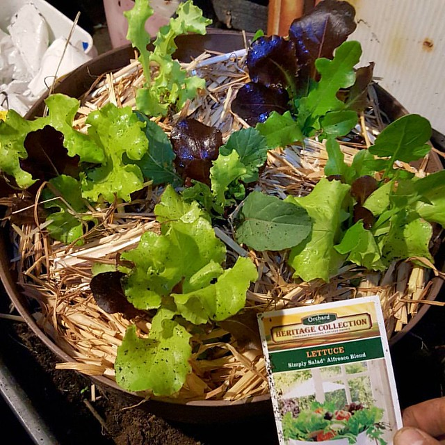 Another quick late night planting. I'm on a salad greens kick and stopped by Orchard Supply Hardware after work to see if they had any Mizuna for sale. They didn't have any, but I got a jumbo six-pack of these salad greens which includes Lettuce, Arugula