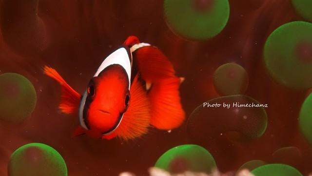 ハマクマノミ幼魚ちゃん、相変わらずカワイイね♪