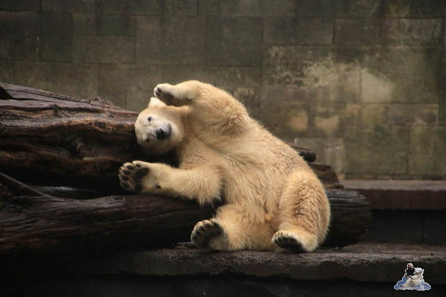 Eisbär Fiete im Zoo Rostock 17.10.2015  015