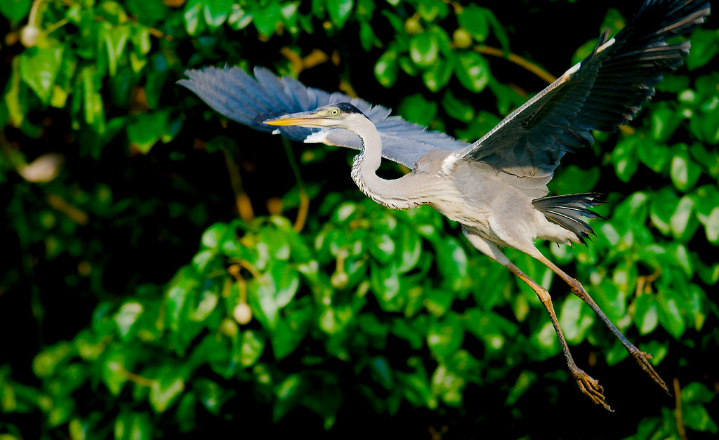 Cocoi Heron (Ardea cocoi)_15