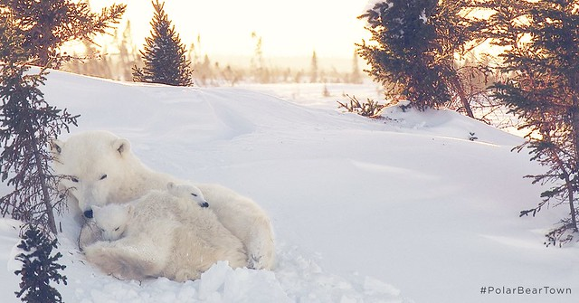 Nothing Like a Nap with Mom for These Two Polar Bear Cubs