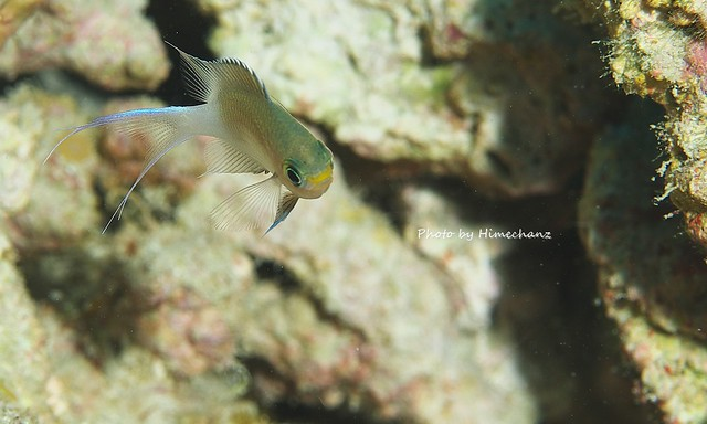 マルスズメダイ幼魚。尻尾がきれいなのでついつい紹介しちゃう