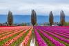 beautiful orange and purple tulip field