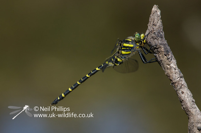 Golden ringed dragonfly-3