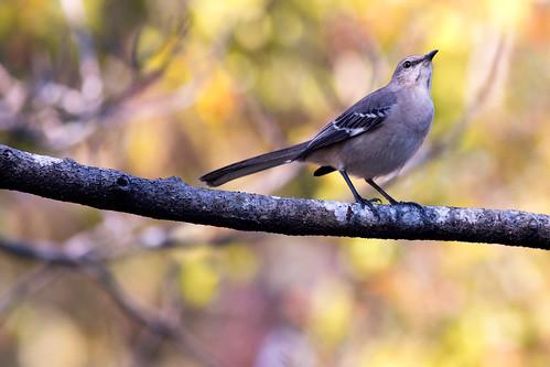 Autumn Mockingbird