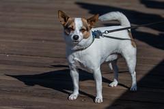 Charlie, the Dog. 01Jan2016 Cayucos Polar Bear Dip Judy's dog