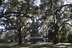 Grand Oak tree