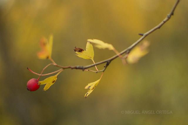 Escaramujo de otoño