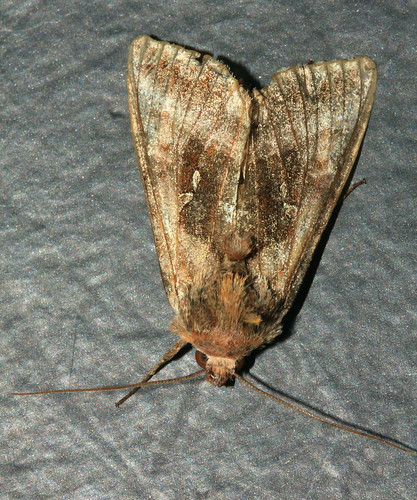 Moth 2444