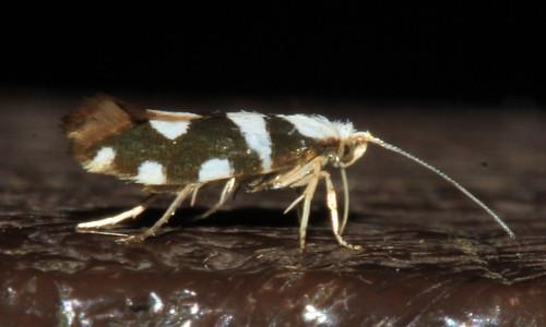 Argyresthia brockeella 2257