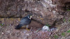 Peregrine Falcon, Flowerpots, Bay of Fundy by DBF Chicago