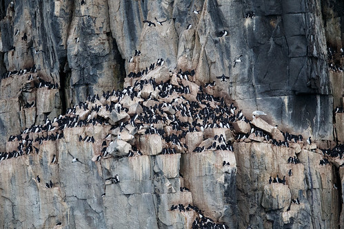 Bird cliff with Brünnich's Guillemot (Spetsbergsgrissla)