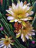 Night Blooming Cereus, Echinopsis pachanoi by John Jardin