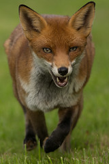 animal, red wolf, jackal, fauna, red fox, dhole, carnivoran, wildlife,
