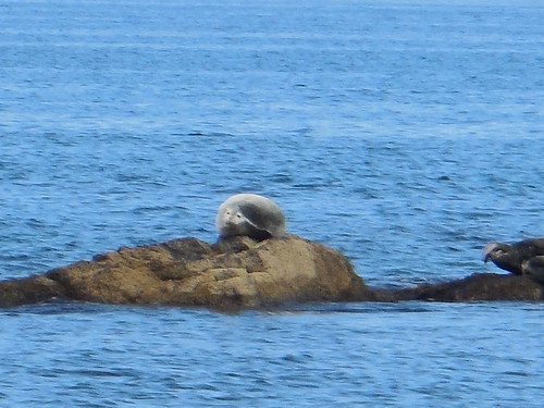 rebun-island-seals-watching-seals02