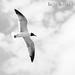 Seagull in Flight by Brett Bodkins Photography