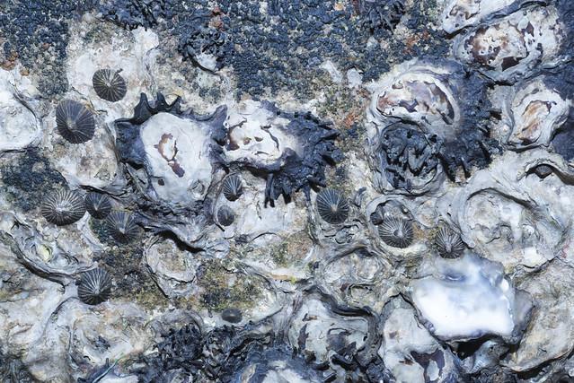 Guam false limpets (Siphonaria guamensis) and Spiked rock oyster (Saccostrea cuccullata)