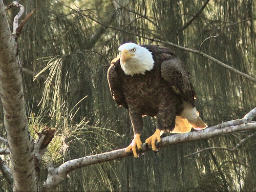 Bald Eagle Pride DPP 01-20151212