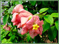 Attractive yellow flower and salmon-pink sepals of Mussaenda philippica 'Dona Luz', Feb 8 2014