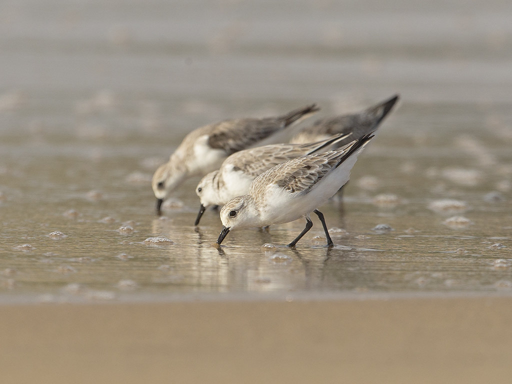 Sanderling     Sri Lanka