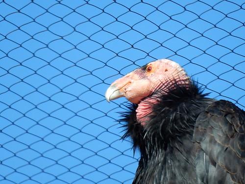San Diego Zoo - condor