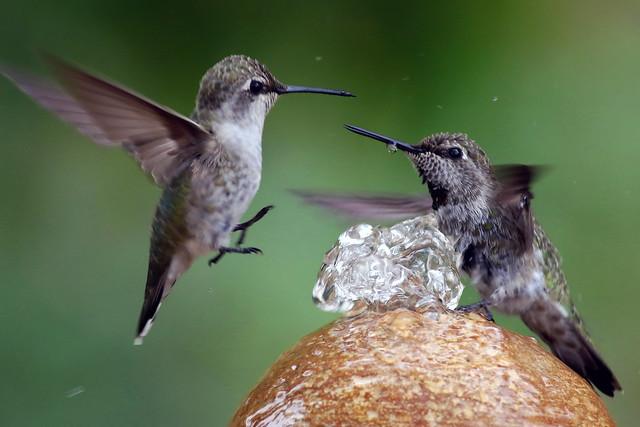 Hummingbirds, Canon EOS 7D MARK II, EF400mm f/5.6L USM