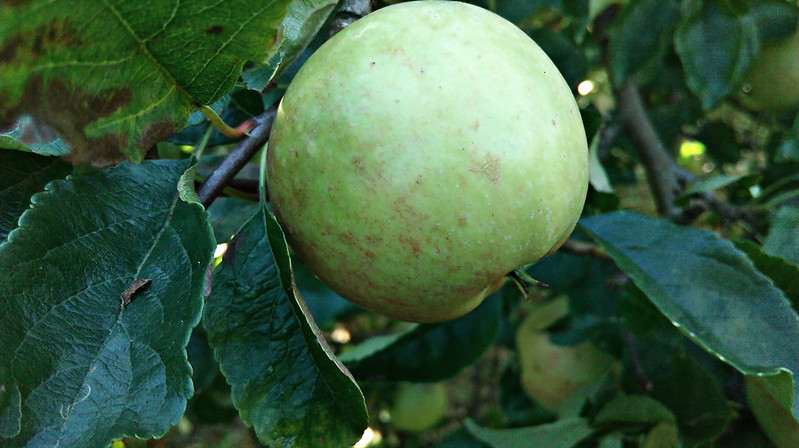 Apple day 2016-apple6