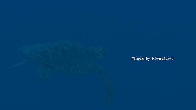ふらふらしてたアオウミガメ